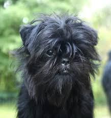affenpinscher coat type affenpinscher u2013 dog breeds beginning with the letter a http www