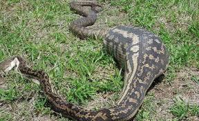 film ular phyton 10 ular piton ini mati karena rakus ada yang menelan manusia