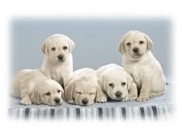 cute puppy hd wallpapers wallpaper wiki