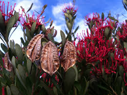 native plants tasmania swallows nest farm tasmanian waratahs