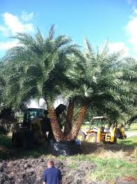 sylvester palm tree sale sylvester date palm plantant