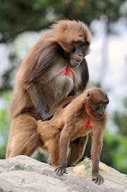 Sexy Monkey Meme - ncbi rofl apparently women but not men like monkey sex