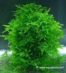 aquatic moss how to grow aquatic moss info on java moss