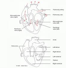 a diagram of the heart ib biology syllabus