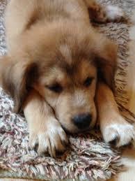 australian shepherd hashtags 1000 images about puppy love on pinterest australian shepherd