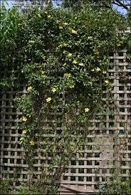 pyrostegia venusta flame vine plants arbors trellis and evergreen