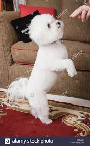 bichon frise long legs dancing dog stock photos u0026 dancing dog stock images alamy