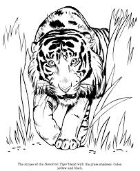 sumatran tiger drawing and coloring page cats art drawings