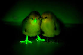 glow in the glow in the chickens are genetically engineered to fight bird