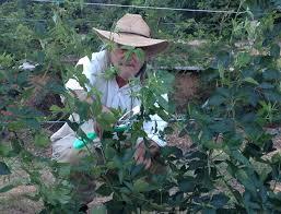 trellis system for blackberries u2013 rabbiteye farm
