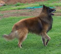belgian sheepdog hound belgian sheepherd dog belgian shepherd dog images graphics