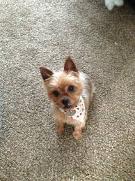 stunning yorkie hair cuts 126 best yorkie love images on pinterest dog cat doggies and