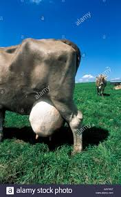 cow with big udder milk stock photo royalty free image 6370326