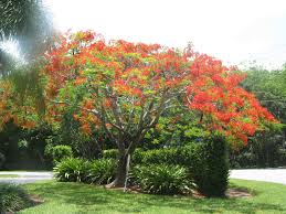 poinsettia tree royal poinsettia tree dave and s money pit