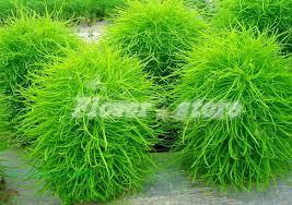 aliexpress buy kochia scoparia seeds ornamental plants