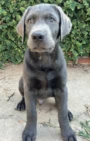 14 puppy images silver lab puppies