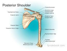 Anatomy Of The Shoulder Girdle Shoulder Anatomy