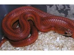 Blind Snake For Sale 198 Best Reptiles Snakes Images On Pinterest Amphibians