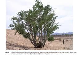tucson native plants asla 2012 professional awards ironwood and saguaro transplant