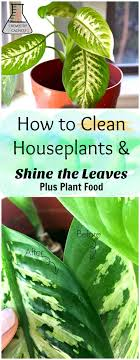 all natural flower food how to clean indoor houseplants and shine the leaves plus plant