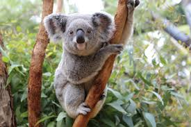 symbolism of a tree the meaning and symbolism of the word koala