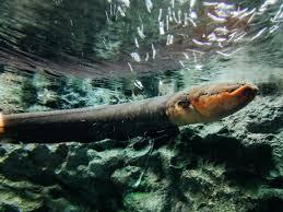 hd electric eel wallpaper electric eel wallpaper pinterest