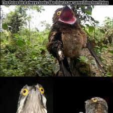 Potoo Bird Meme - the potoo bird always looks like it just saw something horrifying by