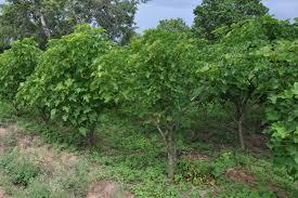 jatropha wikipedia 100 the benefits of jatropha fruits patent us20070099278