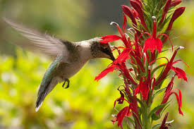 flowers with nectar that attract hummingbirds