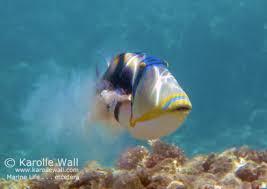 āhihi kīna u0027u triggerfish