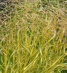 bromus inermis skinner s gold hardy geraniums ornamental