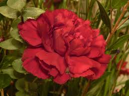 learn about nature carnation flower spain u0027s national flower and