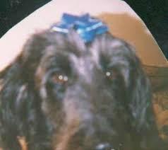 afghan hound poodle cross pooghan pooghans afghan hound x poodle