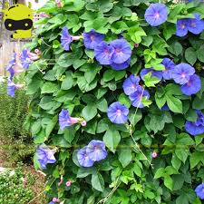 online buy wholesale heavenly blue morning glory from china