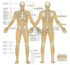 Picture Diagram Of The Human Body Human Body Parts Images U0026 Stock Pictures Royalty Free Human Body