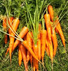 25 trending how to plant carrots ideas on pinterest growing