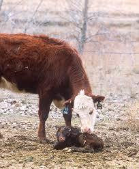 cow calf operation wikipedia