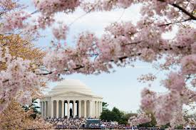 cherry blossom tree facts facts about washington dc s cherry blossom festival