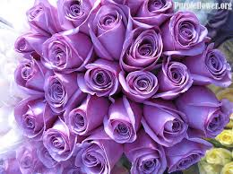 purple roses how to take care of your roses purpleflower org