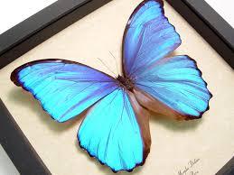 morpho didius blue morpho framed butterfly sug retail