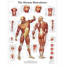 Human Anatomy Torso Diagram Muscle Human Anatomy Diagrams Human Anatomy Torso Diagram Anatomy