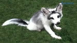 this adorable guy is a marble fox he looks like he u0027s half husky