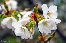 cherry blossom flowers the meaning of cherry blossoms in japan and renewal