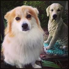 miniature american eskimo dog life expectancy pomimo