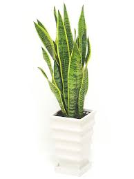 plante de bureau 10 best plante pour le bureau images on plants desk