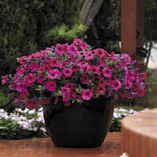 Dry Basement Wave Wave Purple Improved Petunia Seeds From Park Seed