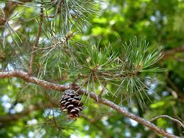 white pine cone pine cones the squirrel nutwork