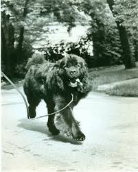 affenpinscher loyalty newfoundland history u0026 training temperament