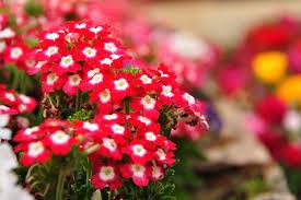 garden flower session ii dept of horticulture shillon