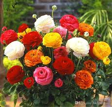ranunculus flower 2018 100 true ranunculus buttercup seeds ranunculus flower